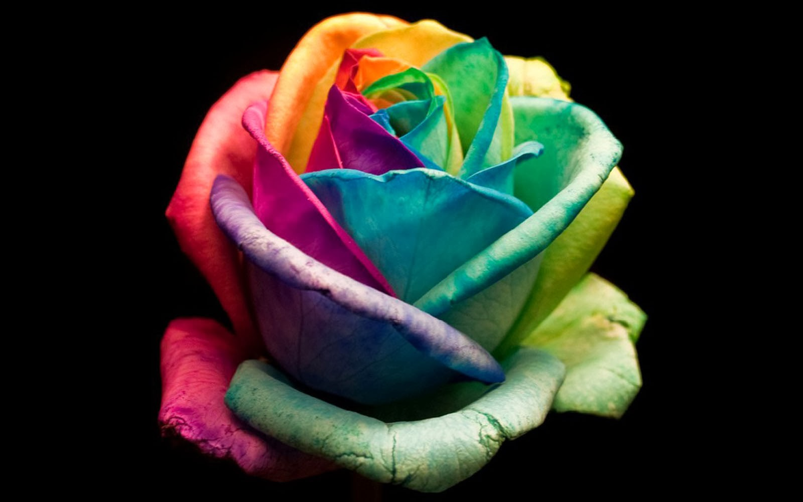 Clovisso Wallpaper Gallery: Colorful Rose Wallpapers