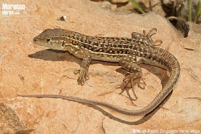Fringe-fingered Lizard
