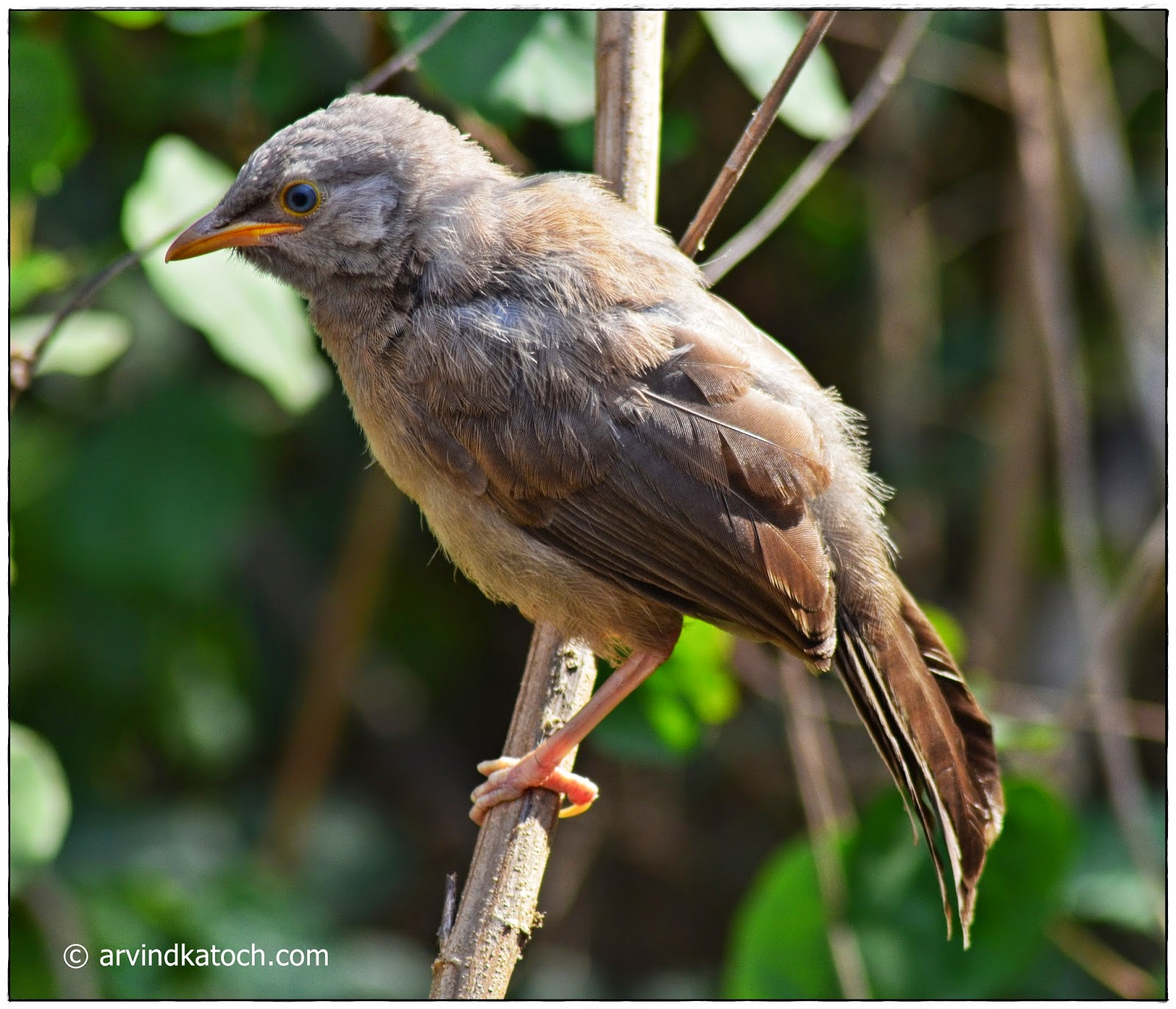 Baby, Jungle Babbler