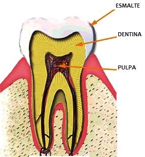 Ilustración del diente indicando sus partes principales