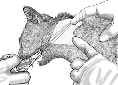 Teknik Operasi Pharyngotomy pada Hewan