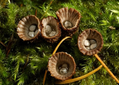 "The ""fluted bird's nest fungus"" has an odd way of spreading around."