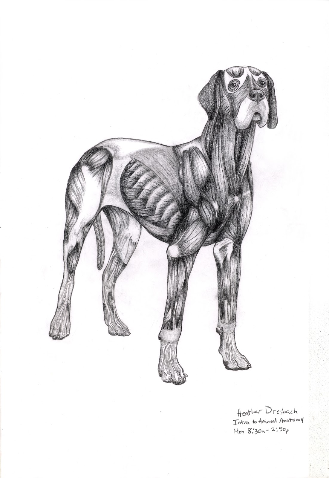 Images About Great Danes