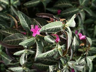 Strobilanthe à fleurs agglomérées - Strobilanthes glomerata - Strobilanthes glomeratus