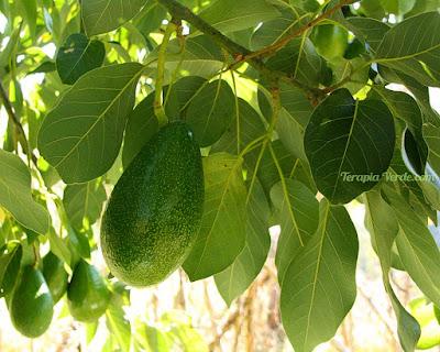 Benefícios do Abacateiro
