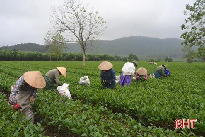 Thu hoạch đầu năm, người trồng chè Kỳ Trung thu trên 1,5 tỷ đồng