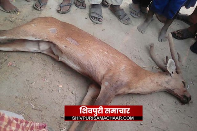 अज्ञात वाहन ने उडाया हिरणो को,पीएम के बाद अंतिम संस्कार | kolaras News