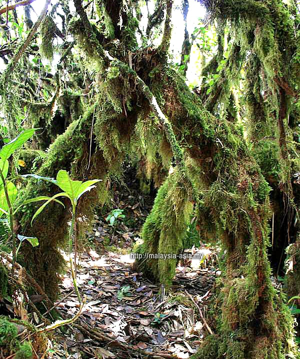Malaysia Moss Forest