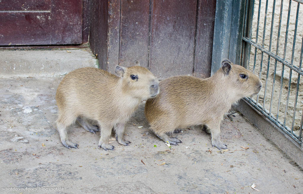 Mein Patentier im Zoo Berlin Elena das Wasserschwein