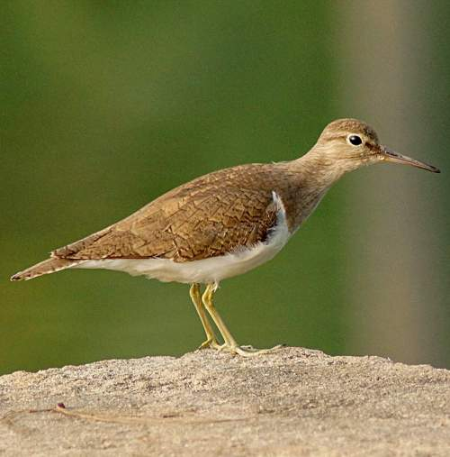Bird World - Image of Common sandpiper - Actitis hypoleucos
