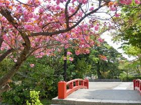 鶴岡八幡宮の八重桜