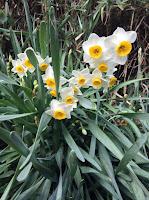 miura daffodils