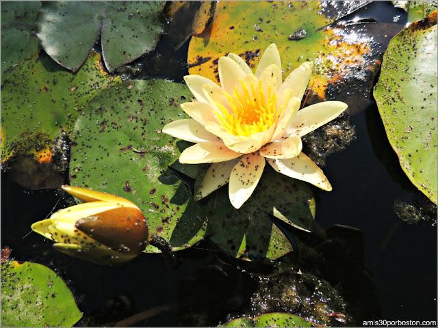 Flor de Loto del Aquatic Garden en el Jardín Botánico de Montreal