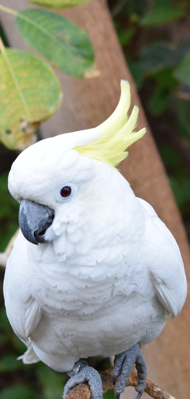 A sulphur-crested cockatoo.