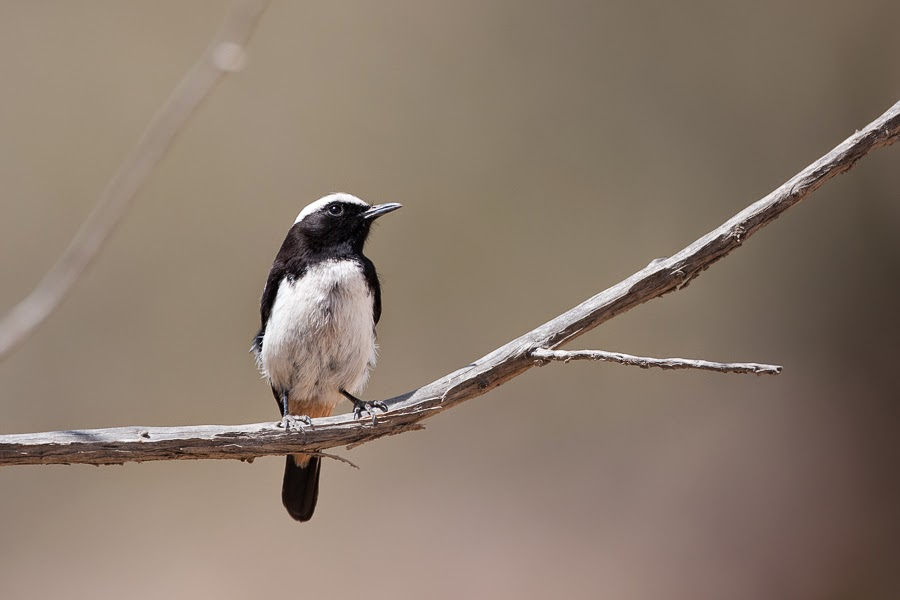 Arabian Wheatear - male