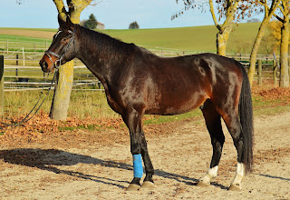 A dark bay horse with a bridle and bright blue tendon boots standing in front of trees