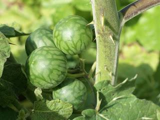 Solanum myriacanthum