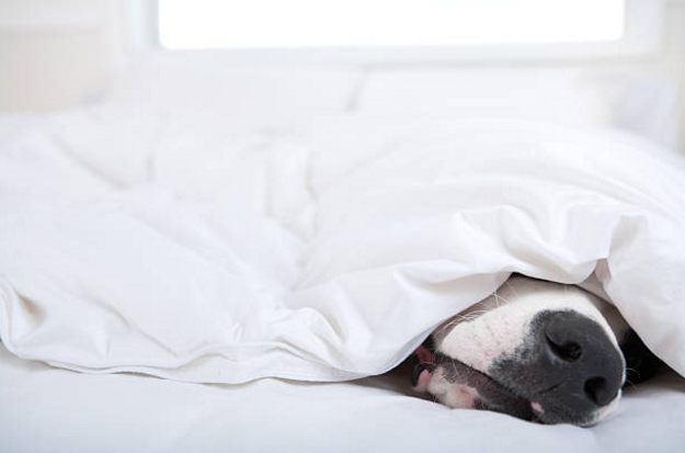 Dog sleeping under covers with nose out