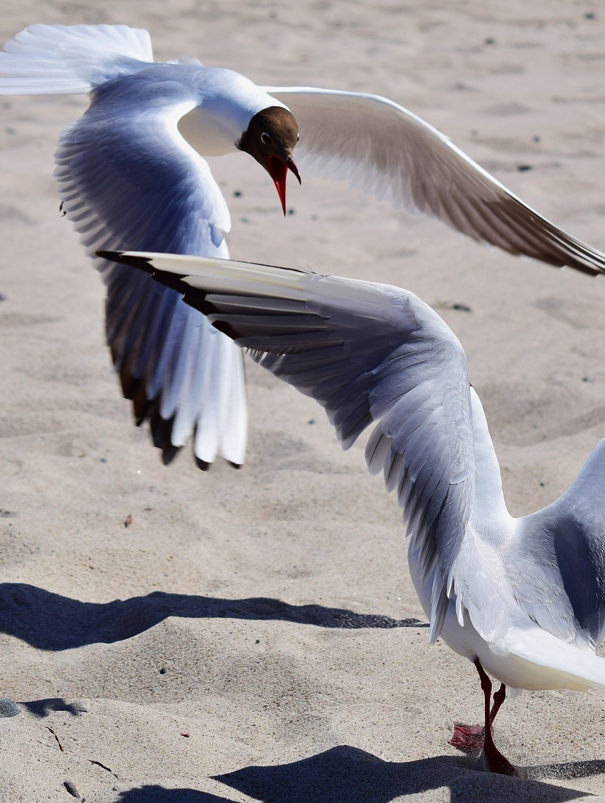 Two seagulls fighting on the beach.
