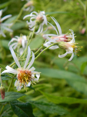 Whorled wood aster Oclemena acuminata at Skyline Trail Cape Breton Highlands National Park by garden muses-not another Toronto gardening blog