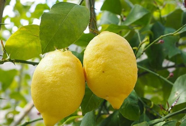 الليمون اللبناني يدخل تهريباً إلى الأسواق السورية !