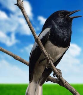 Manfaat Penjemuran Untuk Burung Kacer Dan Burung Lain