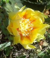 flower identification, wildflowers, what kind of flower is this?  wildflower identification, cactus flower