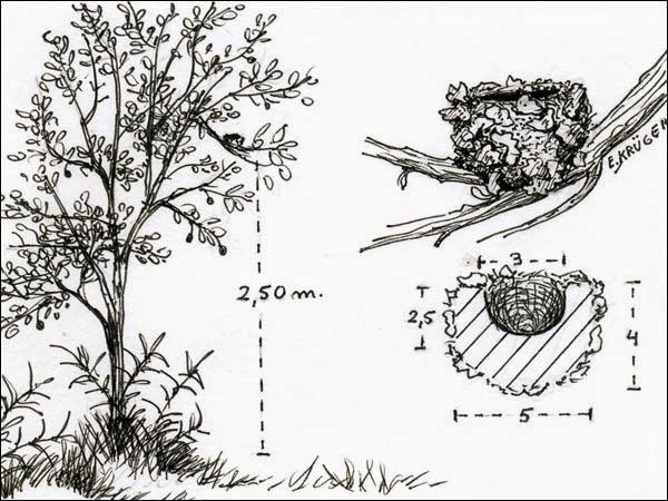 Picaflor blanco, Amazilia chionogaster