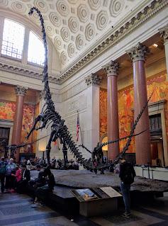 Barosaurus with kaatedocus, American Natural History Museum, NYC