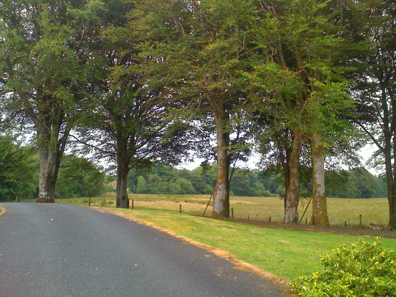 An image of mature beech (Fagus sylvatica) trees