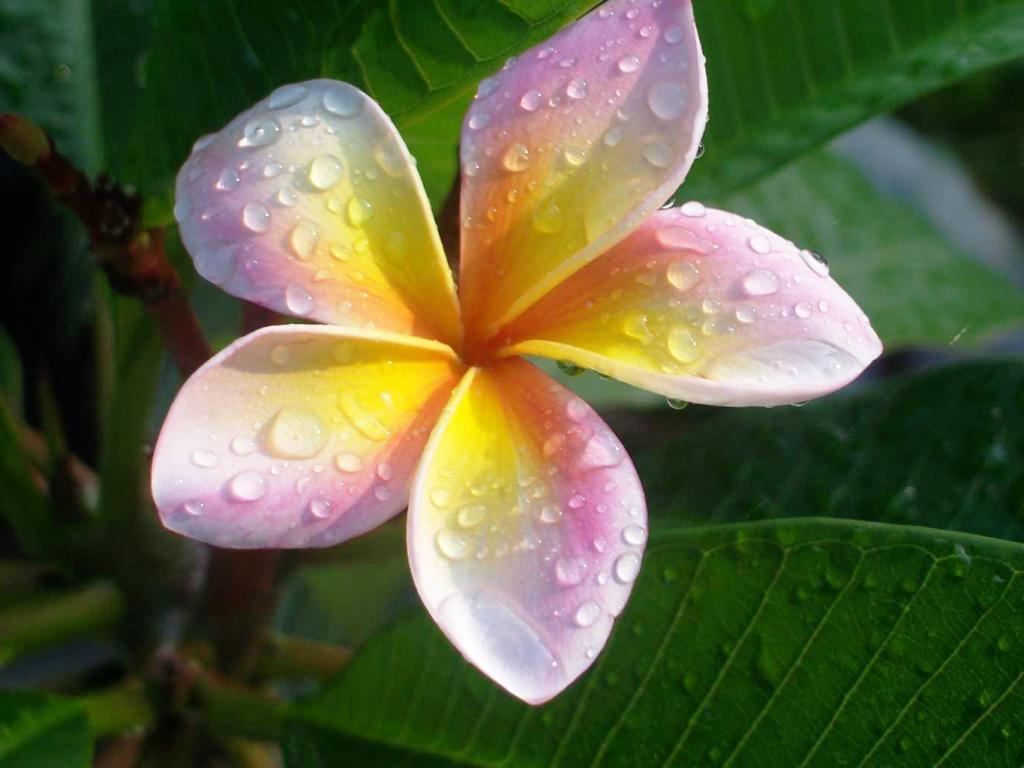 Aneka Gambar Cantik Bunga Kamboja Yang Menakjubkan Dan Indah