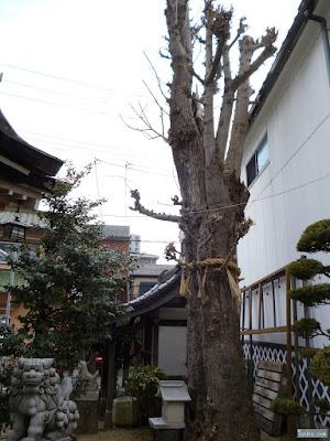 天王田八坂神社ご神木