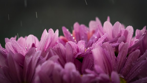 Purple Flower With Water of Rain Drops