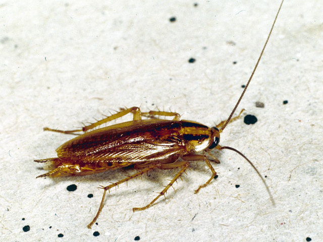 Cucaracha Deutsch