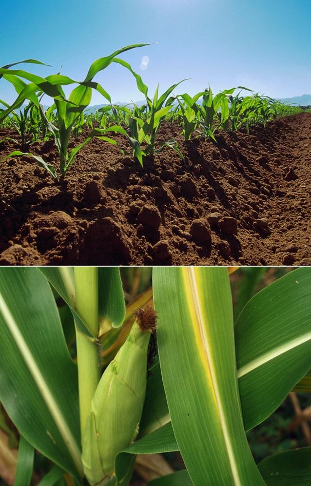 How To Grow Corn 101 Gardening