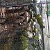 Cara Supaya Pleci Ombyokan Buka Paruh | Cara Merawat Burung Pleci