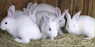 علامات الشبق عند أمهات الأرانب
