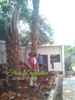 Jual pohon kurma,pohon palm korma berbuah dengan harga murah, jasa penanaman pohon kurma berpengalaman, harga pohon kurma murah 2016