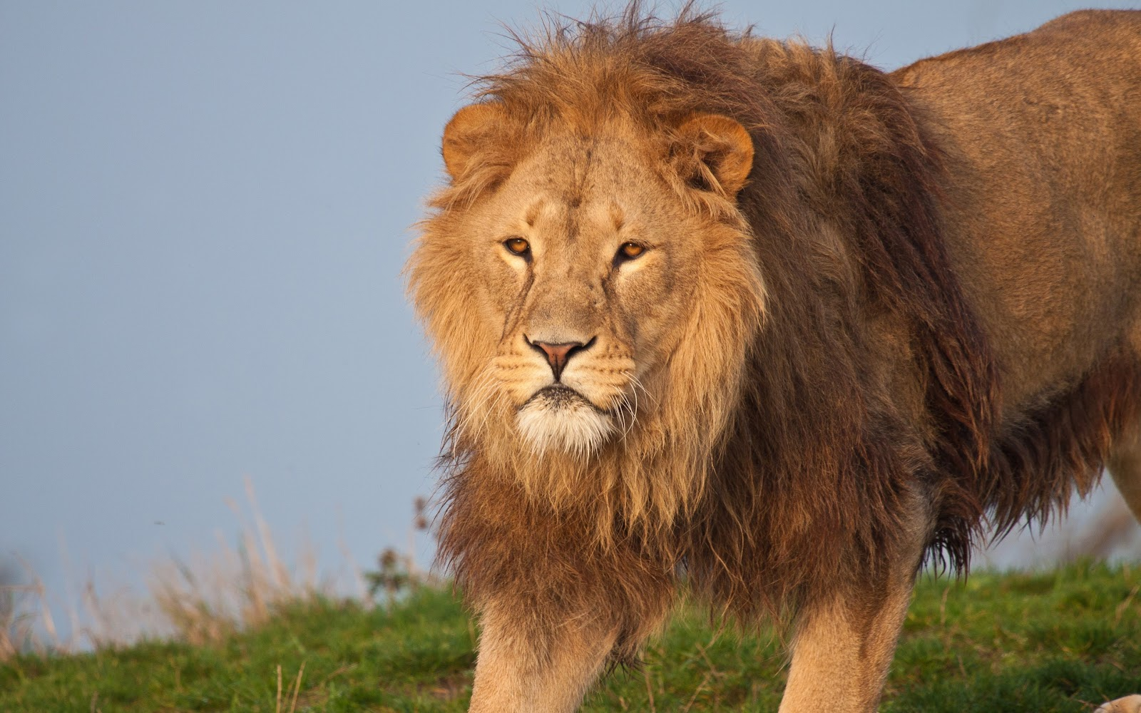 Lion Hd Wallpapers: Lion Full HD 1080p Wallpapers