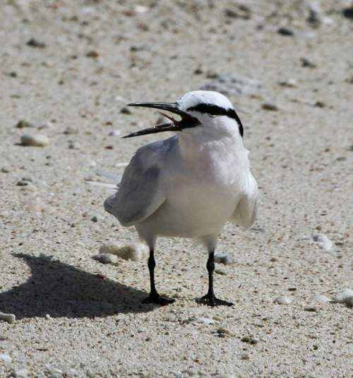 Birds of India - Photo of Black-naped tern - Sterna sumatrana