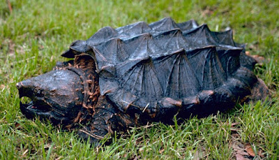 Alligator Snapping Turtle AST