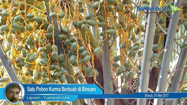 SUBHANALLAH, Pohon Kurma Tanaman Endemik Padang Pasir Ini Berbuah di Bireuen, Aceh