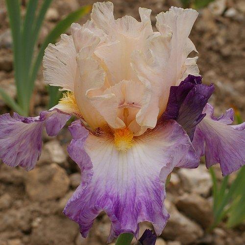 Iris 'Si Tendre'