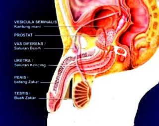 Struktur dan Fungsi Sistem Reproduksi Laki-Laki
