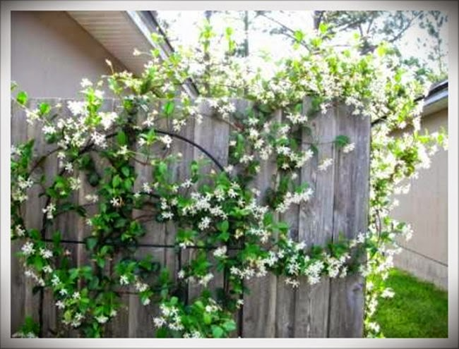 Menanam Bunga Melati Di Pekarangan Rumah Tanaman Hias