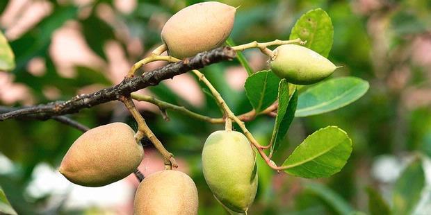 khasiat buah zaitun untuk kesehatan