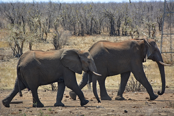 two elephants are walking to a waterhole