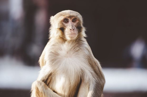 Archicebus achilles Leluhur Primata