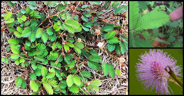 Touch-Me-Not Plant (Makahiya): A Natural Remedy For Arthritis and Joint Pains