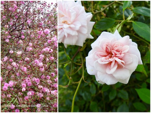 Mimosa uruguensis / Flores del rosal - Chacra Educativa Santa Lucía